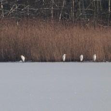 Reiher auf dem Eis